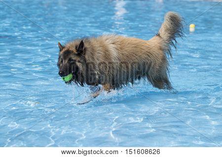 Dog Belgian Shepherd Tervuren fetching tennis ball in swimming pool blue water