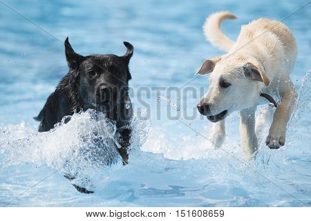 Two dogs Labrador Retriever running in swimming pool blue water