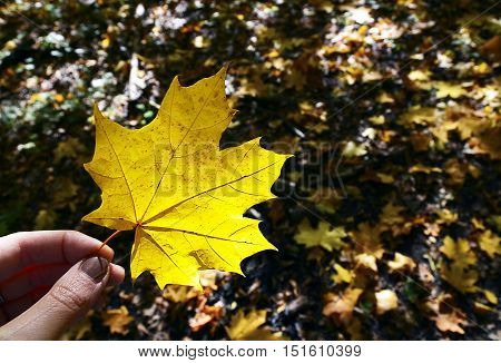 Fall maple leaf in women hand on a blurred autumn leaves background.Hand holding yellow maple leaf.Autumn concept.Selective focus.