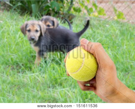 closeup of a human hand with a tennis ball to play with a small dog