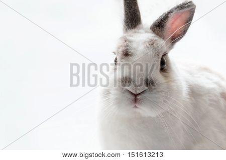 Close up of Cute Netherland Dwarf Rabbit , high key