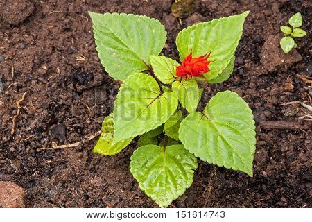 Salvia Seedling With Red Flower In Rich Loam Soil