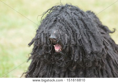 Candid capture of a black puli dog's face.