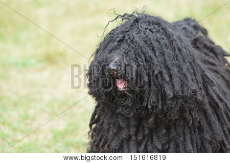 Thick black curls on a black puli puppy dog.