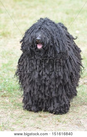 Shaggy black puli dog with lots of fur.