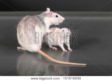 adult and young rats on a glass table