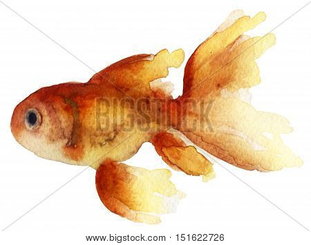 Watercolor sketch of goldfish on white background