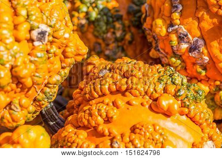 A close up of warty odd and peculiar pumpkins but popular among shoppers for fall decorations.