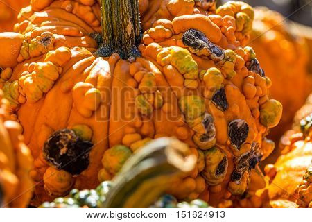 Close up of Bright Orange Gourd with Warts which are used for autumn seasonal decorations.