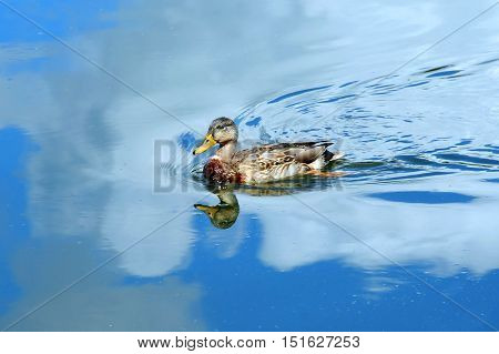 Blue sky and clouds surround female Mallard duck as she glides across the tranquil waters of the Yahara River in Wisconsin.