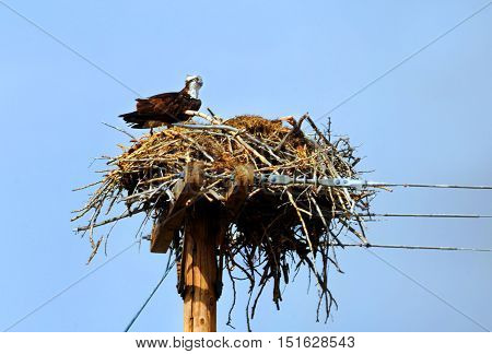 Osprey guards her nest that is guarded by the government . Nest sits upon telephone pole in Southern Wyoming.