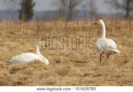 Two whooper swans resting at the lake Tysslingen in Sweden.
