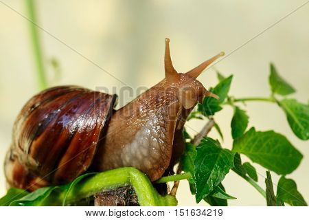 the big Achatina snail eats a green leaves