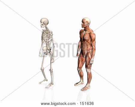Anatomie des Mannes mit Skelett...