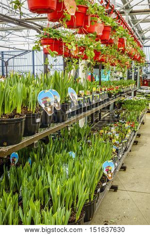 Potted flowers and plants on display at a home improvement store in spring