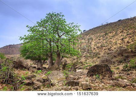 Baobab tree growing in wadi Hinna near Salalah, Oman