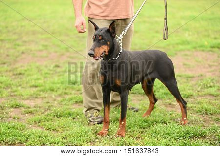 Doberman Pinscher With Owner