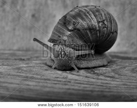 Snail, pest, shell, shellfish, snail crawling on wood.
