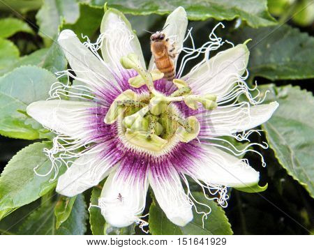 Bee on a Passiflora flower in Or Yehuda Israel January 5 2011