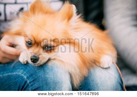 Close up of Red Pomeranian Spitz  Small Dog Sits In Hands Of Mistress