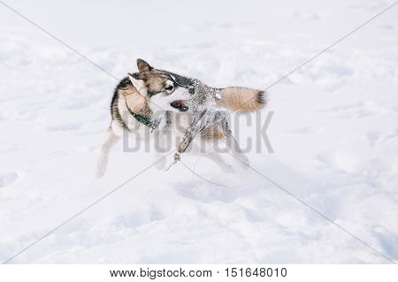 Young Husky Dog Playing With Rag And Fast Running Outdoor In Snow, Winter Season. Sunny Day
