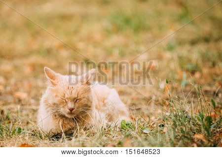 The Beige Peachy Mixed Breed Short-Haired Domestic Adult Cat, Sleeping Tucked Paws On The Yellowed Grass In The Garden. Copyspace.