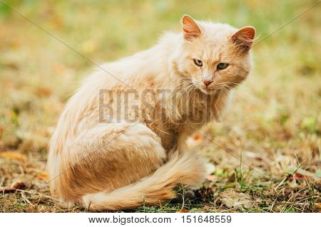 Beige Peachy Mixed Breed Domestic Adult Cat, Lazy Looking Aside, Tucked Paws On The Yellowed Grass. Copyspace.