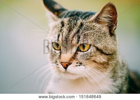 Close Up Of Gray And White Mixed Breed Short-Haired Domestic Young Cat