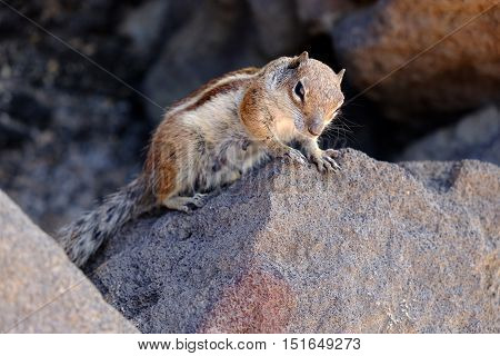 A femine squirrel on the rock. Location Fuerteventura, Spain.