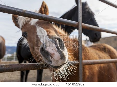 A small pony puts his nose through the bars of the fence in this humorous picture.
