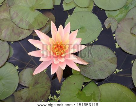 A lone water lily floating in a pond.