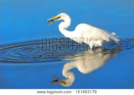 Great White Heron with fish, mid air, in its beak