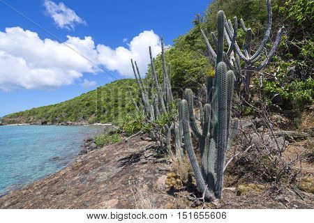 Naturally occuring variety of endemic cactus and other plants growing on Caribbean island rocky coast of Isla Culebra in Puerto Rico