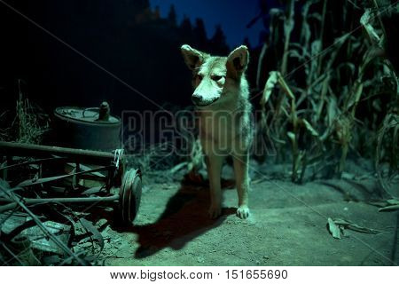 Coyote coming out of corn field at night