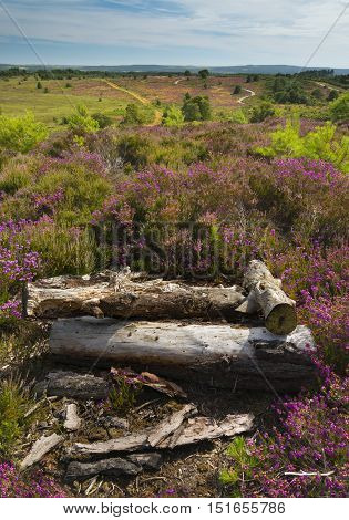 Lush purple and pink bell heather and verdant trees on Canford Heath Poole Dorset near Bournemouth