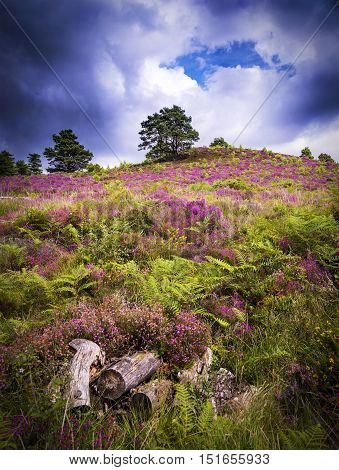 Lush purple and pink bell heather and verdant trees at Wareham Forest Poole Dorset near Bournemouth
