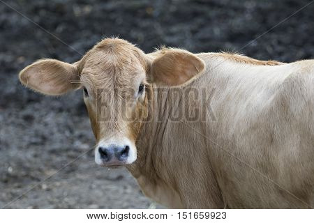 Young cattle standing staring on nature background.