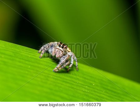 Jumping Spider (Hyllus semicupreus) waiting for prey on green leaf at night scene