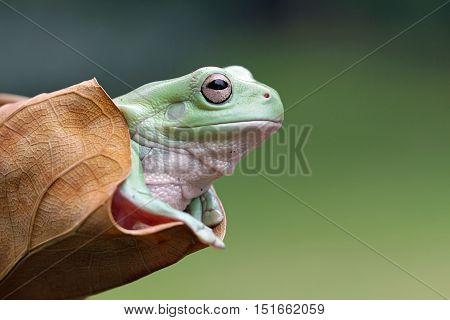 Dumpy frog, tree frog out of dried leaves