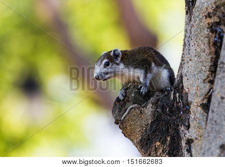 Finlayson's squirrel (Variable squirrel Callosciurus finlaysonii) on branch