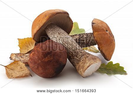 Isolated raw aspen mushrooms on the white background