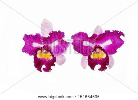 Two bright cattleya orchid flowers isolated