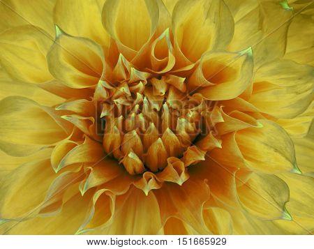 yellow dahlia flower. Close-up. Macro. Nature. beautiful flower.