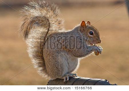 Suburban squirrel