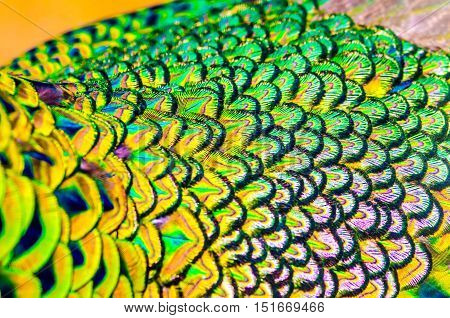 Peacock Feathers Is Colorfull For Use Backgroud ,texture And Wallpaper.