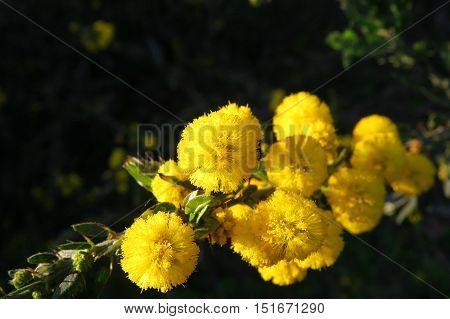 Yellow wattle mimosa acacia flower in the Australian bush