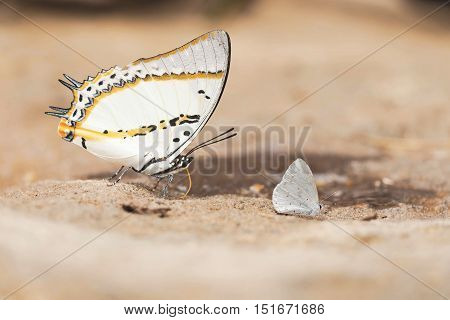 Close up of Shan Nawab butterfly in nature.