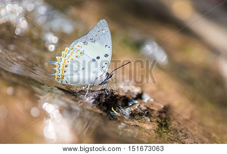 Close up of Jewelled Nawab butterfly in nature.