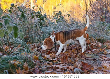 Beagle In The Early Morning In Autumn Forest