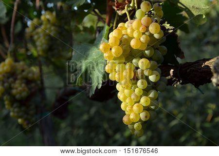 muscat grapes on the vine on auttumn